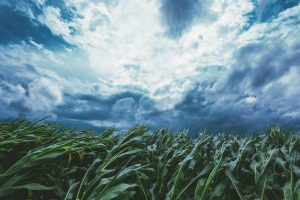 strong-wind-blowing-in-the-corn-field-300x200 Blog